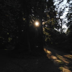 Better Sun Through Forked Trees [Golden Gate Park]