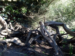 Gnarled Eden Shots [Golden Gate Park]